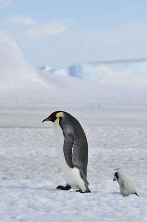 Emperor Penguin with chick Stock Photo