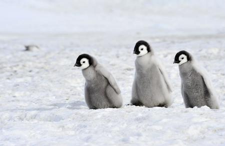 南極の皇帝ペンギンの雛