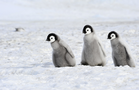 pollitos: Pollitos del pingüino emperador en la Antártida Foto de archivo