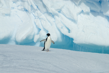 Adelie Penguin on iceberg