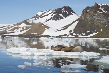 Walruses on ice flow in Franz Joseph Land Arctic