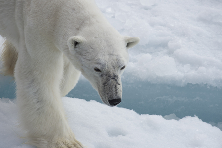Polar bear walking on the ice in arctic landscape sniffing around. Stock Photo