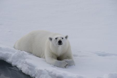 Polar bear lies on the ice in arctic landscape sniffing around. Standard-Bild