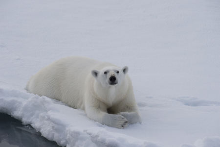 Polar bear lies on the ice in arctic landscape sniffing around. Banque d'images