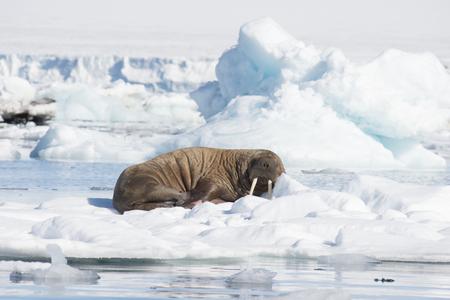 フランツ・ヨーゼフ・ランド北極における氷の流れのセイウチ