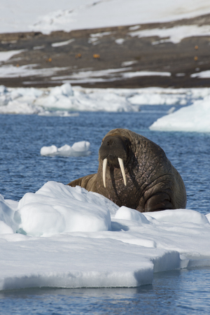 Walrus on ice flow in Franz Joseph Land Arctic