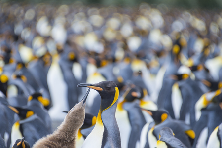 King Penguins colony Gold Harbour at South Georgia Stock Photo