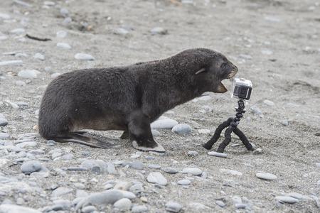 Antarctic fur seal pup close up with camera Stock Photo
