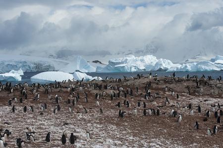 Gentoo Penguin on the nest 写真素材 - 98582570