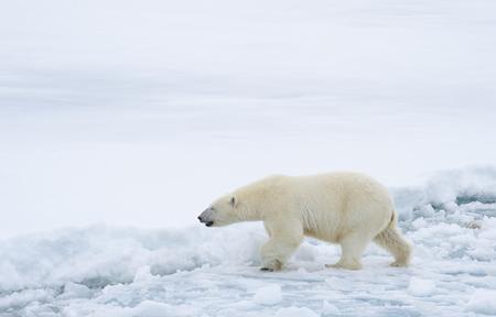 Oso polar caminando en un ártico. Foto de archivo