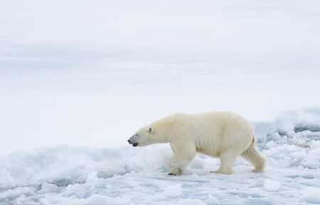 Polar bear walking in an arctic. Stock fotó