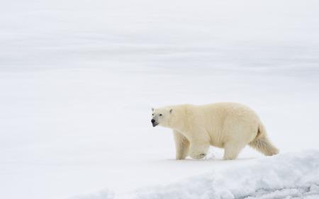 Eisbär, der in einer Arktis spaziert.