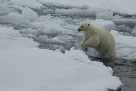IJsbeer die in een noordpoolgebied loopt. Stockfoto