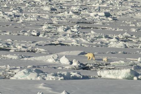 Polar bear walking in an arctic. Reklamní fotografie