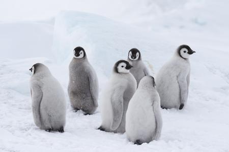 Pollitos de pingüinos emperador en Snow Hill Antarctica 2018