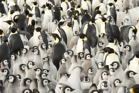 Emperor Penguins with chicks at Snow Hill, Antarctica 2018