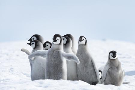 Keizerspinguïns kuikens op Snow Hill Antarctica 2018 Stockfoto