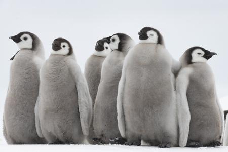 Poussins de manchots empereurs à Snow Hill Antarctica 2018