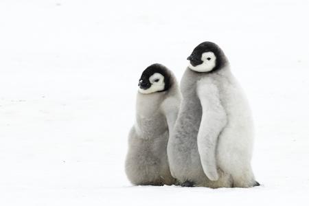 Dos polluelos de pingüino emperador en Snow Hill Antártida 2018 Foto de archivo