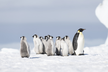 Emperor Penguin with chicks at Snow Hill, Antarctica2018