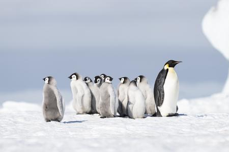 Pingüino emperador con polluelos en Snow Hill, Antártida2018