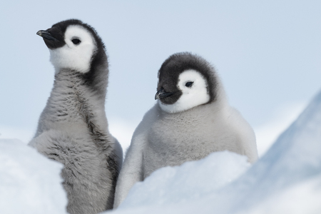 Two Emperor Penguins chicks at Snow Hill Antarctica 2018