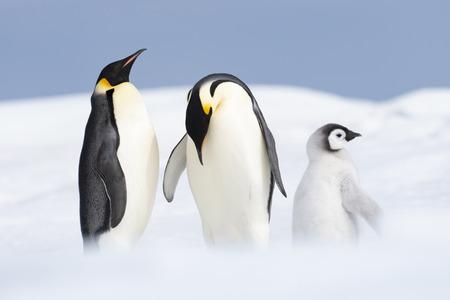 Deux manchots empereurs avec poussin à Snow Hill, Antarctica2018