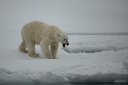 Polar bear walking on the ice in Arctic.