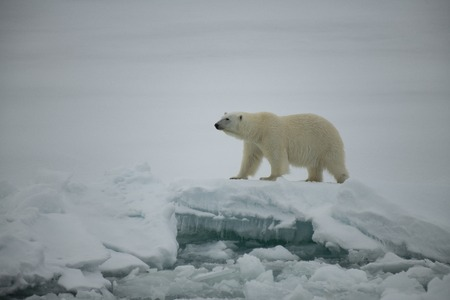 Polar bear walking on the ice in arctic landscape sniffing around. Imagens