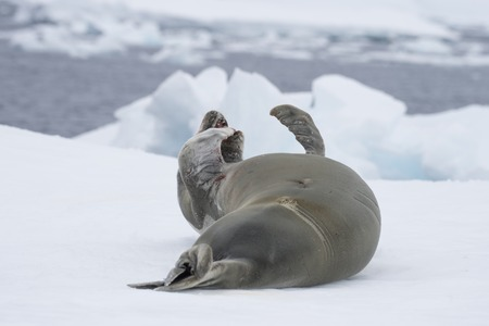 Crabeater seal resting on an ice flow, Antarctica