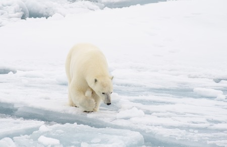 Polar bear walking on the ice in arctic landscape sniffing around. Фото со стока