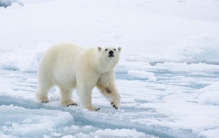 Orso polare che cammina sul ghiaccio nel paesaggio artico annusando intorno.