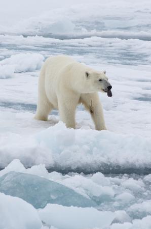 Oso polar caminando sobre el hielo en el paisaje ártico husmeando. Foto de archivo