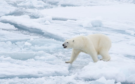Polar bear walking on the ice in arctic landscape sniffing around. Stok Fotoğraf