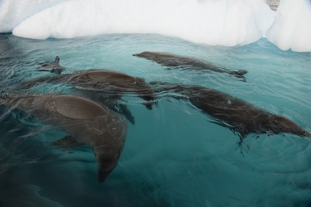 Crabeater Seal in the swiming water in Antarctica