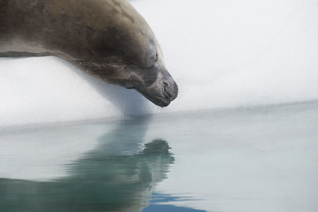 Crabeater Seal on the ice with reflaction in Antarctica