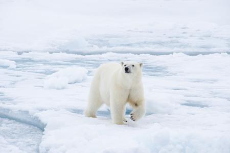 Polar bear walking on the ice in arctic landscape sniffing around. Standard-Bild