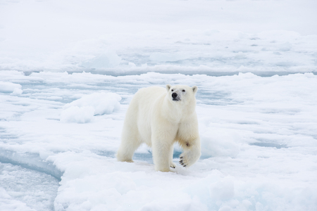 Polar bear walking on the ice in arctic landscape sniffing around. 免版税图像