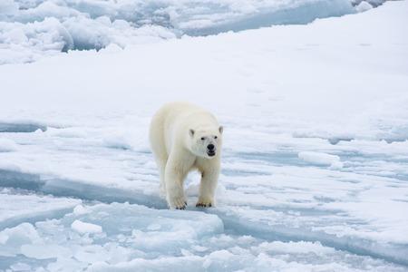 IJsbeer die op het ijs in arctisch landschap loopt en rondsnuffelt.