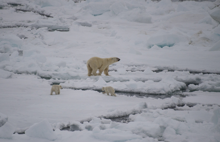 Polar bear walking on sea ice in the Arctic