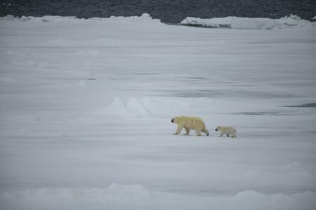 Polar bear with cub walking in an arctic landscape.