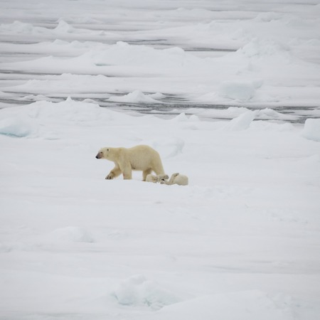 Polar bear with two cubs walking in an arctic landscape.