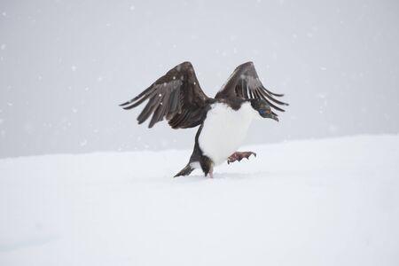 Antarctic Shag on the ice