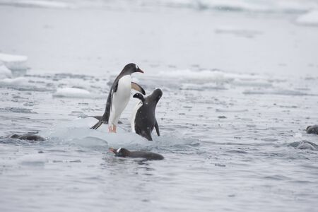 Gentoo Penguins playing on the ice Cuvervile Island, Antarctica Standard-Bild