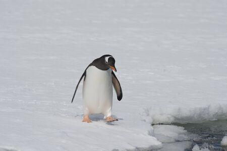 Gentoo Penguin on the ice Cuvervile Island, Antarctica Standard-Bild