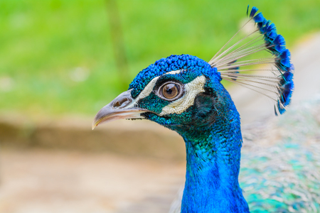 animal in the wild: Bright head of Peacock with blue feathers on top.Soft focus of male blue peacock head with blurred background Stock Photo