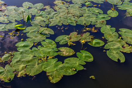 waterlillies: Water lilies on the water. Bright background of waterlillies on calm water surface.