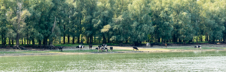 midday: Kettle chewing grass on the shore, at mid-day in summer. Horizontal view of a flock of cows chewing grass on the shore.