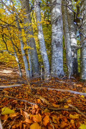 dense forest: Birch forest with yellow leaves. Dense forest with yellow leaves and  branches on the ground during autumn during daylight.