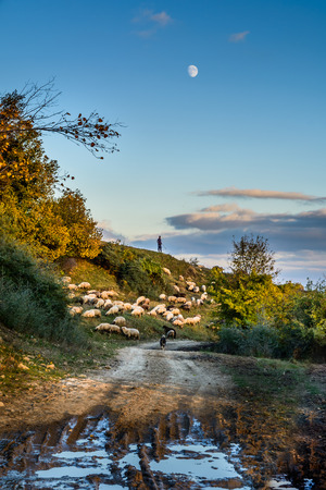 road autumnal: Herd of sheep on beautiful mountain meadow. Background with sheep, autumnal trees, green grass, blue sky, shepherd and country road. Stock Photo